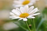 Spring daisy.