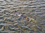 P3210917-squid-snorkling.jpg