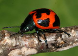 Beetles : Coleoptera