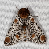 Moths of Massachusetts