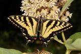 Tiger Swallowtail Intermediates