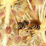 Halictidae : Sweat Bees