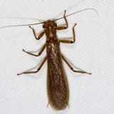 Stoneflies - Plecoptera