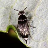 Mordellidae :Tumbling Flower Beetles
