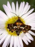 Thyrididae-Hyblaeidae : 6076-6088