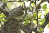 Lundsångare / Greenish Warbler