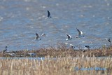 9 Little Gull and 2 Black-headed Gull. Note the difference!