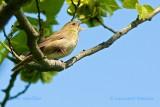 Flodsångare / River Warbler