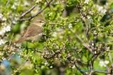 Busksångare / Blyth´s Reed Warbler