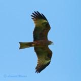Brun Glada / Black Kite