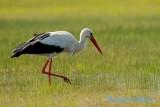 Vit stork / White Stork