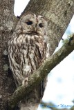 Kattuggla / Tawny Owl