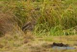 Purpurhäger / Purple Heron