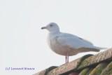 Vitvingad trut / Iceland Gull