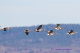Bläsgås / Greater White-fronted Goose