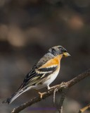 Bergfink / Brambling