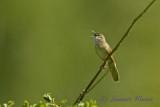 Gräshoppssångare / Common Grashopper Warbler
