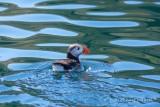Lunnefågel / Atlantic Puffin