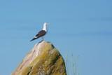 Silltrut / Lesser Black-backed Gull