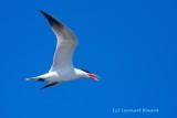 Skräntärna / Caspian Tern