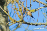 Rostgumpsvala / Red-rumped Swallow