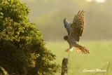 Ängshök / Montague´s Harrier