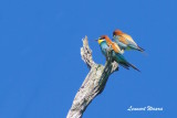 Biätare / European Bee-eater