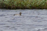 Alfågel / Long-tailed Duck