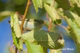 Tajgasångare / Yellow-browed Warbler