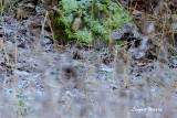 Gulbrynad sparv / Yellow-browed Bunting