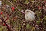 Rödhuvad törnskata / Woodchat Shrike