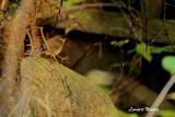 Blåstjärt / Red-flanked Bluetail