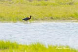 Bronsibis / Glossy Ibis