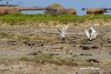 Svartbent strandpipare / Kentish Plover
