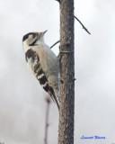 Mindre hackspett / Lesser Spotted Woodpecker