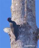 Spillkråka / Black Woodpecker