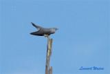 Gök / Common Cuckoo