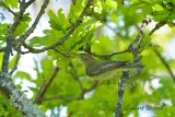 Härmsångare / Icterine Warbler