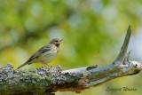 Trädpiplärka / Tree Pipit