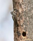 Tretåig hackspett / Three-toed Woodpecker