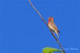 Rosenfink / Common Rosefinch