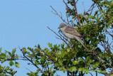 Höksångare / Barred Warbler