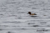 Bergand / Greater Scaup