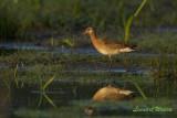 Rödspov / Black-tailed Godwit
