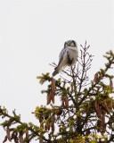 Hökuggla / Northern Hawk Owl