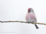 Barmsijs; Mealy Redpoll