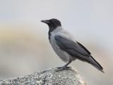 Bonte Kraai; Hooded Crow