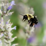 Des abeilles et des fleurs...