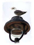 Gull On Lamp I