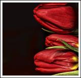feb 1 monday tulip